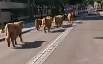Tjurkalvar på rymmen i stan